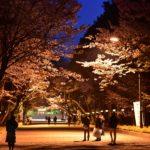 北海道・札幌にも桜前線が到着、円山公園・北海道神宮の夜桜