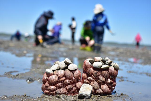 厚岸町の厚岸湖でアサリ掘りツアーが人気